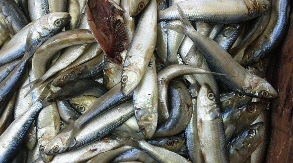 صفاقس: اتلاف 160 كغ من سمك السردين