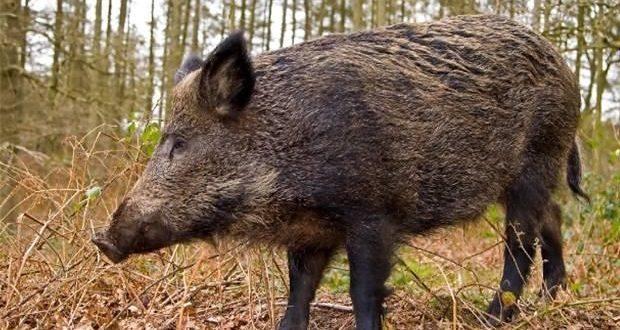 صفاقس: الخنازير البرية تغزوا الأراضي الفلاحية و تأتي على الأخضر واليابس