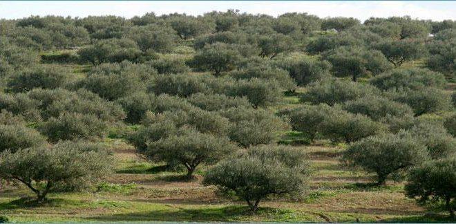 """بلدية صفاقس :بيع منتوج 37 ألف شجرة زيتون بـ 200 ألف دينار مقابل 8 """"مليارات"""" العام الماضي"""