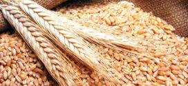 ولاية الكاف تتوقع تسجيل صابة قياسية من الحبوب