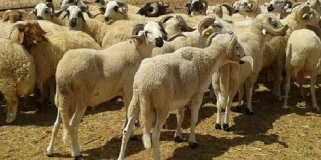 صفاقس: الاطاحة بعصابة مختصة في سرقة المواشي
